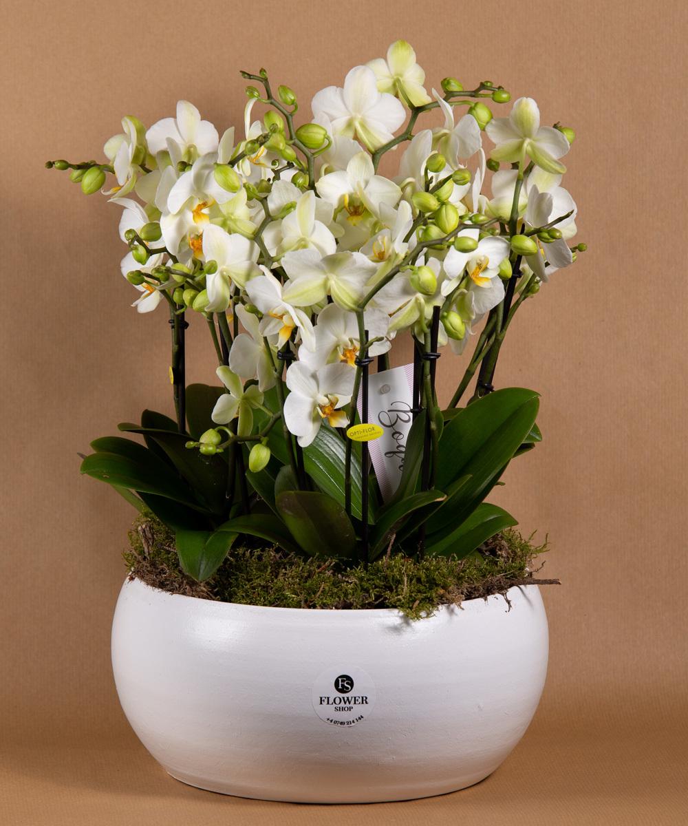 Phalenopsis - mini orhidee