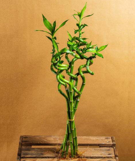Lucky bamboo - Dracena